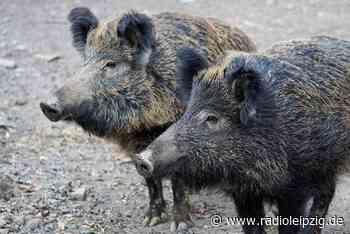 Markkleeberg geht gegen Wildschweinplage vor - Radio Leipzig