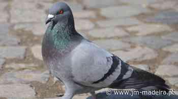 Petição contra o abate de pombos aprovado pela CMF já conta com 222 assinaturas - jm-madeira.pt