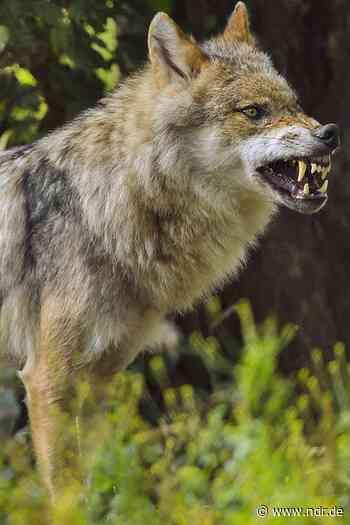 Walsrode: Wolf stirbt bei Unfall auf Bundesstraße - NDR.de