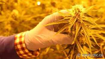 Job losses hitting Atholville cannabis producer, Zenabis - CBC.ca