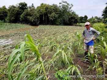280 hectáreas de maíz, maní y arroz, arrasadas en Pedro Carbo - El Universo