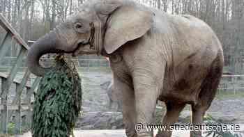 Tiere - Kronberg im Taunus - Elefantenkuh Aruba im Kronberger Opel-Zoo gestorben - Süddeutsche Zeitung