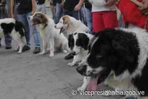Misión Nevado celebra 53 años del Mucuchíes como perro nacional - Vicepresidencia