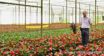 Cancelado - Turistas podem conhecer estufas de flores em Holambra - TURISMO SA