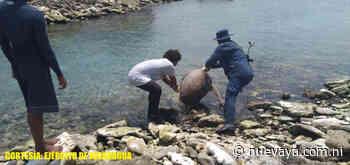 Fuerza Naval de Nicaragua libera 5 tortugas verdes en Laguna de Perlas - Radio YA