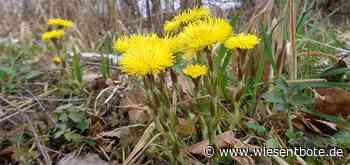 Vorboten des Frühlings: Huflattich bei Langensendelbach - Der Neue Wiesentbote