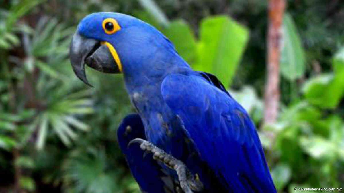 ¡Hay esperanza! Nace guacamayo azul; especie fue declarada extinta - El Heraldo de México