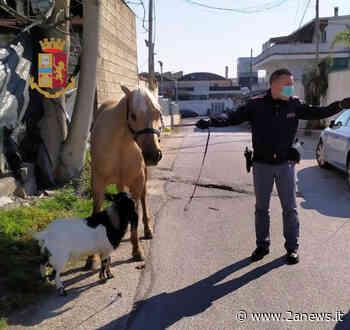 Giugliano in Campania: Porta a spasso cavallo e capra. Denunciato - 2anews