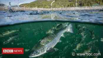 Farmed salmon escape after Storm Brendan damage - BBC News