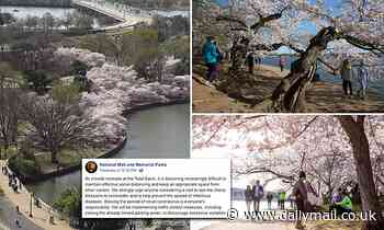 Hundreds flock to see Washington DC's famous cherry blossoms bloom