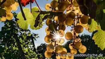Zwei Drittel der Rebflächen mit Weißweinsorten bepflanzt - Süddeutsche Zeitung