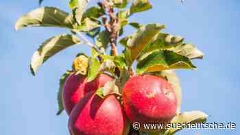 Apfel-Verteilaktion in Dresden wegen Coronavirus abgesagt - Süddeutsche Zeitung