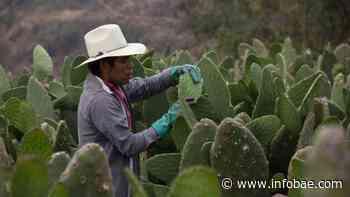 Tlaxcalancingo, el increíble pueblo que vive del nopal - infobae