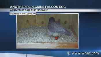 Rochester's favorite peregrine falcons expanding their family