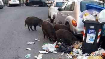 Rallenta la raccolta rifiuti, cassonetti pieni in città. E ad Ottavia tornano i cinghiali tra la spazzatura