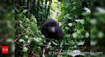 Africa's rare mountain gorillas also at virus risk