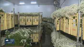 Coronavírus: venda de flores cai 70% e produtores de Holambra têm prejuízo de R$ 50 milhões - G1