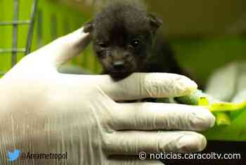 Rescatan a cachorro de zorro perro en carretera de Titiribí - Noticias Caracol