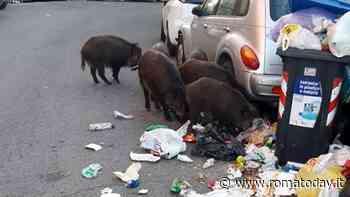 "Ottavia, via i rifiuti banchetto per cinghiali. Ama rimprovera ""incivili"" e residenti"