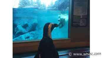 With guests away, Seneca Park Zoo lets penguin visit exhibits