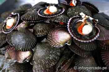 Sechura será foco de exportación de la concha de abanico - Infomercado
