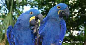 Especie extinta de guacamayo azul podría repoblar el planeta de nuevo - CHISPATV