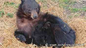 Après trois mois de confinement, trois oursons nés au ZooSafari de Thoiry sortent de leur tanière - Echo Républicain