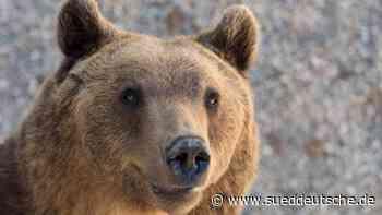Mildes Wetter: Torgauer Bären beenden Winterschlaf vorzeitig - Süddeutsche Zeitung
