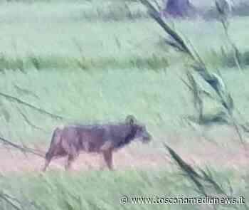 Un lupo avvistato in un campo a Rosignano - Toscana Media News