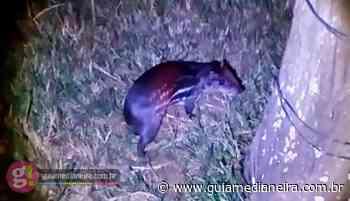 Medianeira: Paca que foi vista passeando nas ruas é capturada e solta em seu habitat - Guia Medianeira