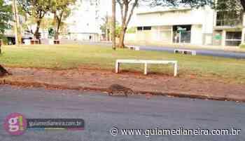 Medianeira: Paca é vista passeando tranquilamente pelas ruas - Guia Medianeira