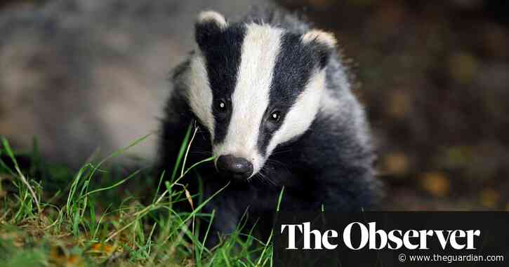 More than 100,000 badgers slaughtered in discredited cull policy
