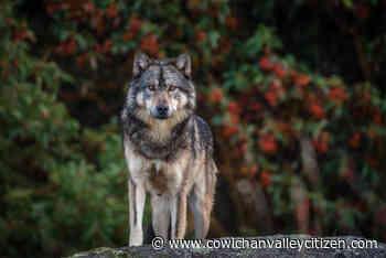 Beloved Discovery Island wolf Takaya shot and killed near Shawnigan Lake - Cowichan Valley Citizen