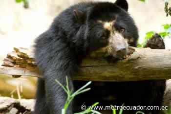 Graban a un oso de anteojos por la vía a Gualaceo durante la cuarentena - Metro Ecuador