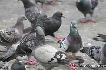 Pombos estão morrendo de fome em Copacabana e no Centro - Diário do Rio de Janeiro