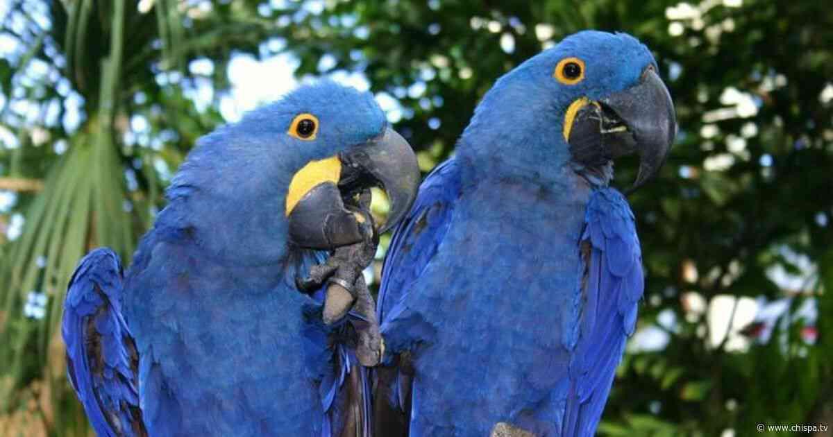 Especie extinta de guacamayo azul podría repoblar el planeta de nuevo - CHISPA