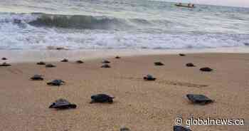 Coronavirus clears beach for endangered sea turtle hatchlings in Brazil