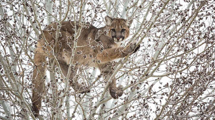Mountain Lion Management Plan Sets Goals For Western Colorado