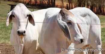 Casa Branca Agropastoril promove Leilão Outono de touros e matrizes Angus e Brahman. - FolhaMT