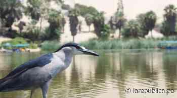 Ica: animales regresan a laguna Huacachina como resultado de la cuarentena - LaRepública.pe