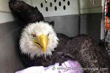 Eagle injuries in Masset - thenorthernview.com