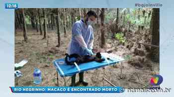 Rio Negrinho: Macaco é encontrado morto - ND