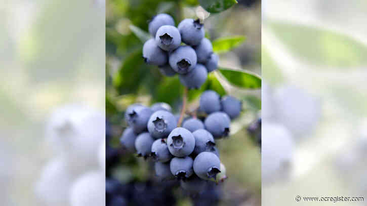 Master Gardener: How to grow blueberries in Southern California