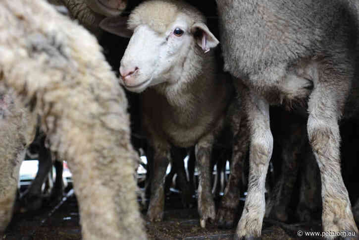 Good News for Sheep! Middle East Live Export to Shut Down for 15 Weeks