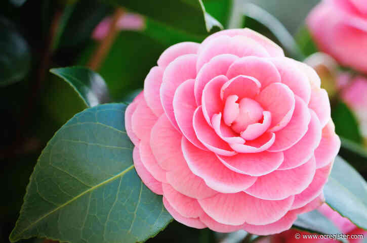From pruning ferns to feeding camelias, here's what to do in the garden this week