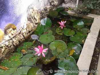 La importancia de plantas acuáticas para San Cristóbal de las Casas - Chiapasparalelo