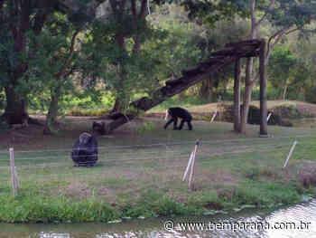 Chimpanzé Bob, do Zoo de Curitiba, ganha um amigo para a quarentena - Jornal do Estado