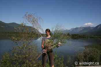 Wildsight Golden – Invasive Plant Coordinator position - Wildsight