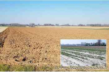 Saint-Romain-de-Colbosc. Les tulipes et la lutte contre le cancer victimes du coronavirus - Le Courrier Cauchois