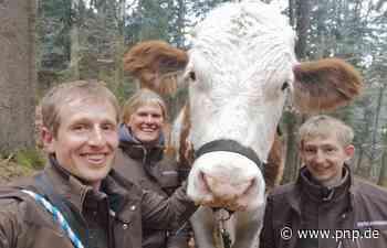 Hoffen auf ein Happy End für den flüchtigen Stier Ferdinand - Passauer Neue Presse
